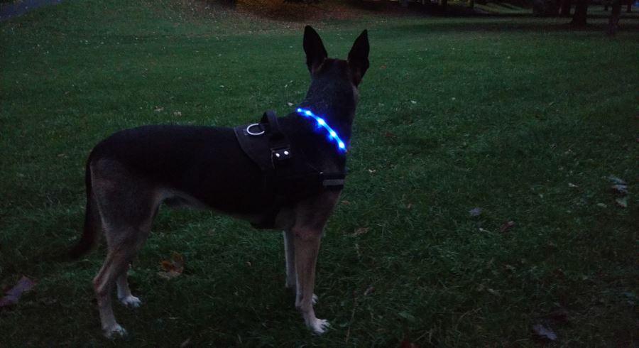Unser Hund Moritz mit Leuchthalsband